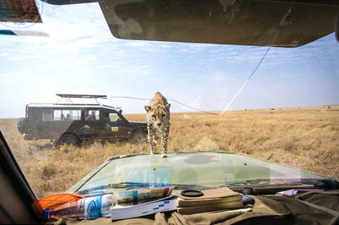 Vahşi Çita, Kendisini Görüntülemek İsteyen Zoologların Arabasının İçine Kafasını Soktu ve... - 1