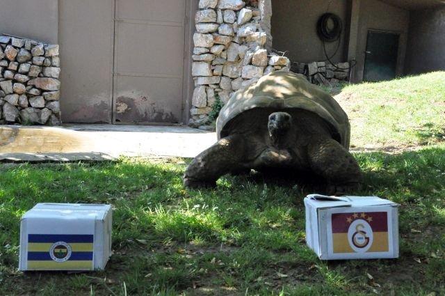 97 Yaşındaki Kaplumbağa'nın Derbi Tahmini Tuttu! - 1