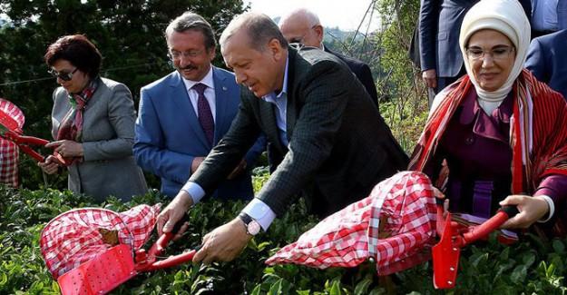 Cumhurbaşkanı Erdoğan'dan Memleketinde Çay Hasadı