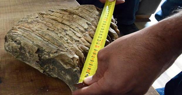 K.Maraş'ta Mamut Fosili Bulundu