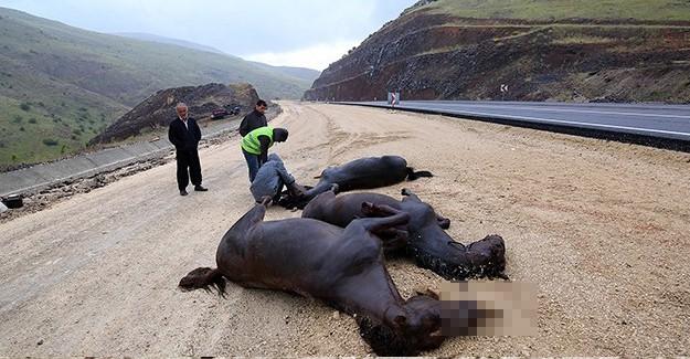 Yarış Atlarını Taşıyan Kamyonet Devrildi