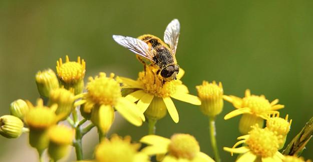 Arı Ölüsünün Sağlığa Faydaları!