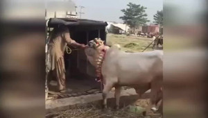 Kutsal Sığır Adam Öldürdü!
