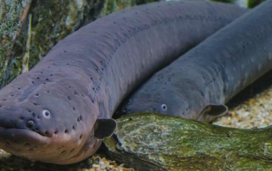 Yılan Balığı Suya Bakın Neler Yapıyor! Şoke Olacaksınız