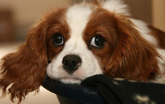Kendini Ufak Zanneden Devasa Köpek Dostlarımız!