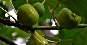 Ocağıma İncir Ağacı Diktin Ne Demektir? Neden Ocağıma İncir Ağacı Diktin Derler? İncir Ağacının Evden Uzağa Dikilmesinin Nedeni Ne?
