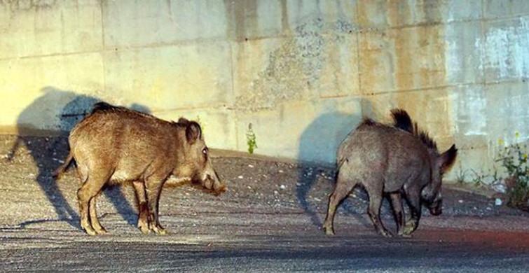 Sarıyer'de Aç Kalan Domuzlar Mesire Alanına İndi!