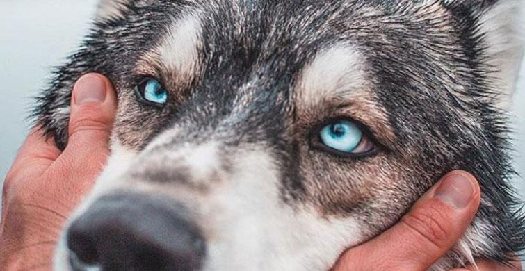 Bildikten Sonra Sarılmak İsteyeceğiniz Kurt Köpeklerinin 9 Özelliği - 1