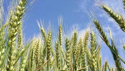 Buğdayda Sıfır Vergi, Ne Anlama Geliyor?