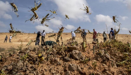 Kenya, Etiyopya ve Sudan'da Çekirge İstilası