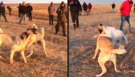 Köpekleri Dövüş Diye Birbirine Parçalattılar