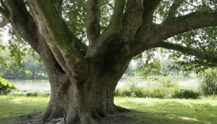 Nefesin Şifresi Çınar Ağacı