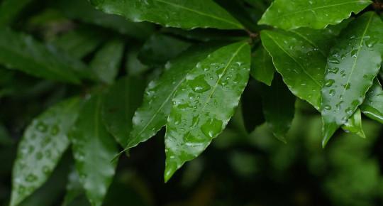 Defne Yaprağı Faydaları Nelerdir?