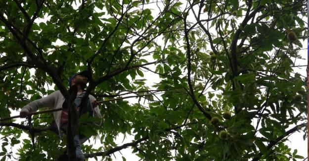 Aydın'da Ağaca Çıkarak Günde 400 TL Kazanıyor!