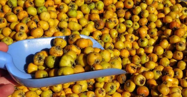 Tokat'ta Çekirdeği İle Alıç Yiyen 3 Kişi Hastanelik Oldu