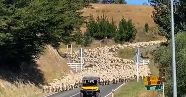 Yeni Zelanda'da Kuzular Trafiği Kapattı