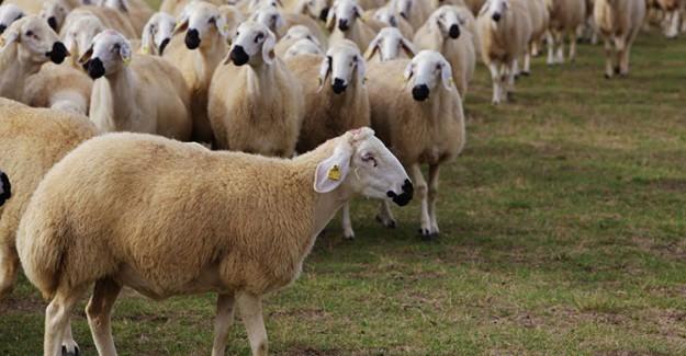 300 Koyun Desteği Nasıl Alınır! İşte Tüm Detaylar