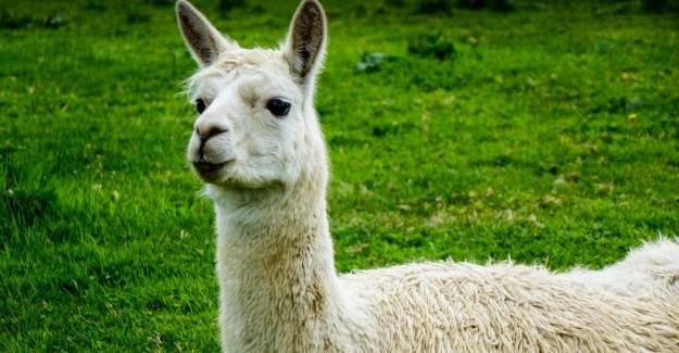 Coronavirüste Umutlar Lamalara Bağlandı