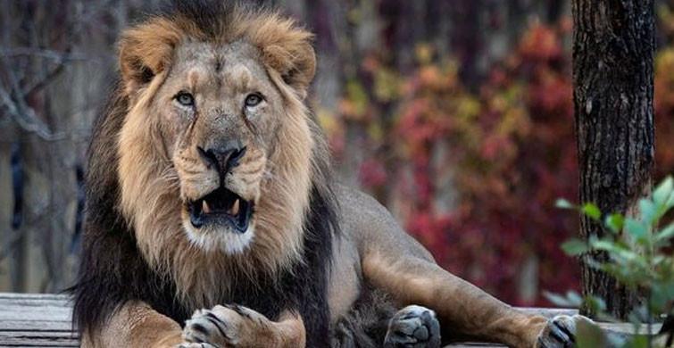 Hindistan'da Aslanlarda Koronavirüs Tespit Edildi