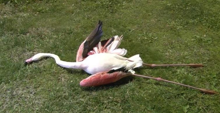 İzmir'deki Flamingoların Ölüm Sebebi Ortaya Çıktı