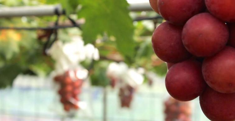 Japonya'da Üzüm Açık Arttırmada 12 Bin 700 Dolara Alıcı Buldu