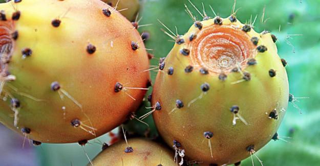Kaynana Dili Meyvesi