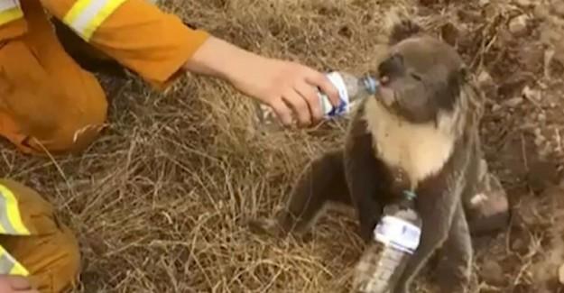 Koala Susuz Kaldı! Yardımına Bakın Kim Yetişti