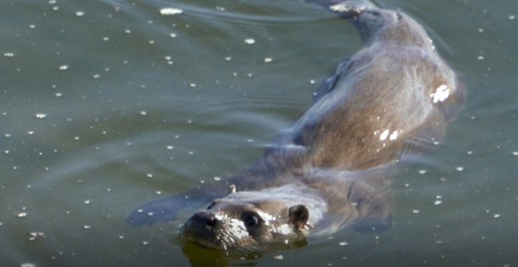 Kütahya'da Nesli Tükenmekte Olan Su Samuru Bulundu