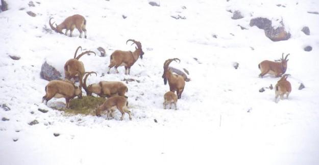 Niğde'de Dağ Keçilerinin Sayısı Arttı