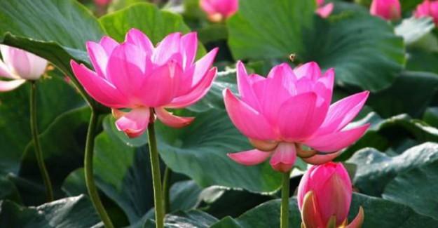 Panik Atak ve Strese Birebir Nilüfer Çiçeği Çayı