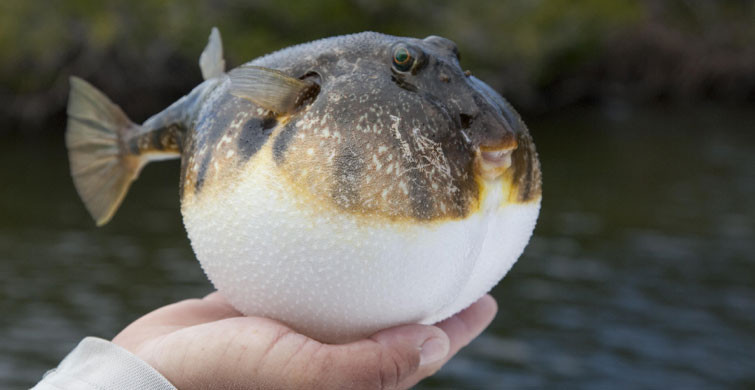 Resmi Gazete Yayınladı! Balon Balığı Avına Karşılık Ödeme Yapılacak