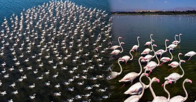 Van Gölü'nde Flamingo Şöleni