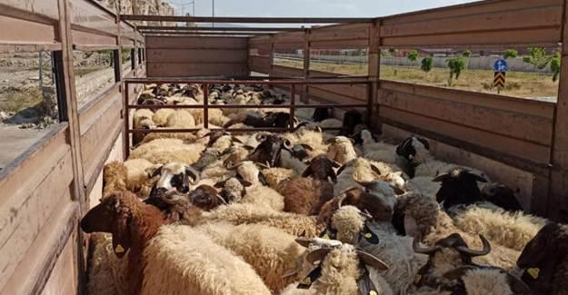 Van'dan Katar'a 1250 Küçükbaş Hayvan Satıldı