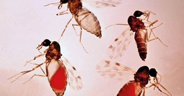 Adana'da Görülen Sivrisinek Kör Ediyor