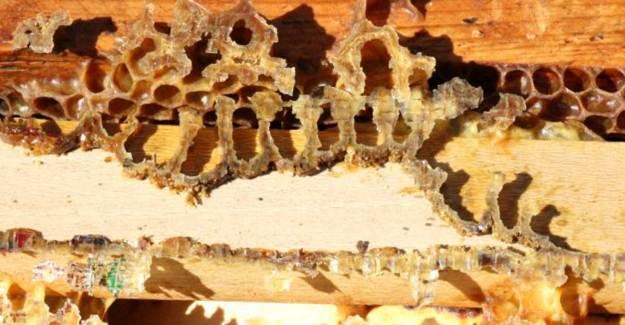 Aydın'da Arılar Kovanlara Arapça Yazılar Yazıyor