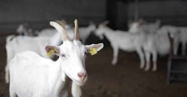 Keçi Sütünde Kovid-19'a Karşı Etkili Protein Bulundu