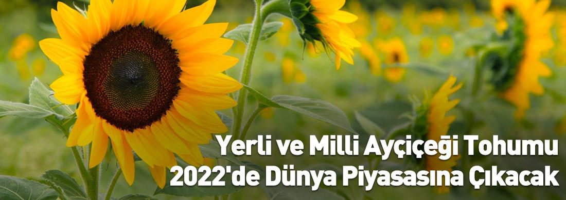 Yerli ve Milli Ayçiçeği Tohumu 2022'de Dünya Piyasasına Çıkacak